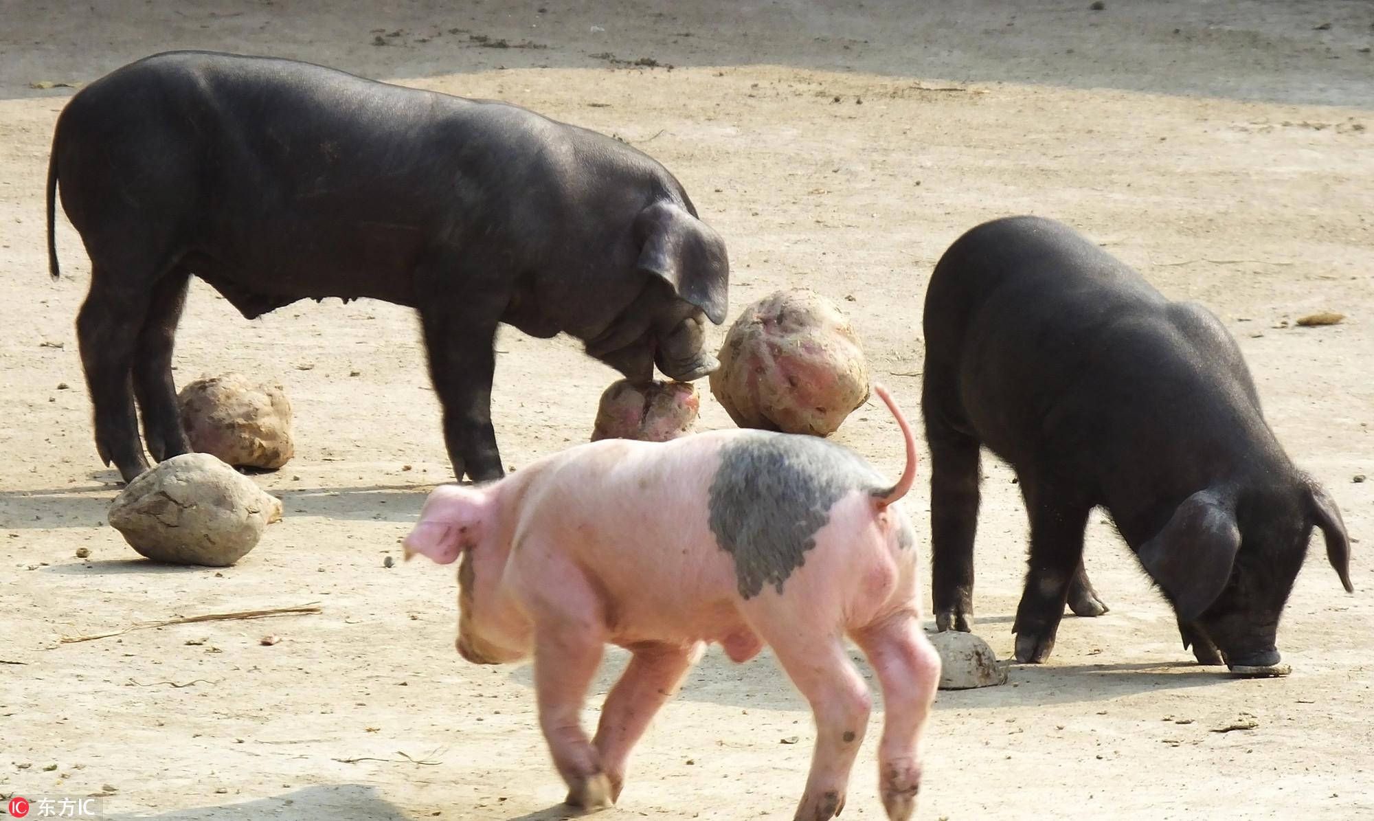 三全食品陷非洲猪瘟病毒,狂飙的猪肉、食品概念股承压