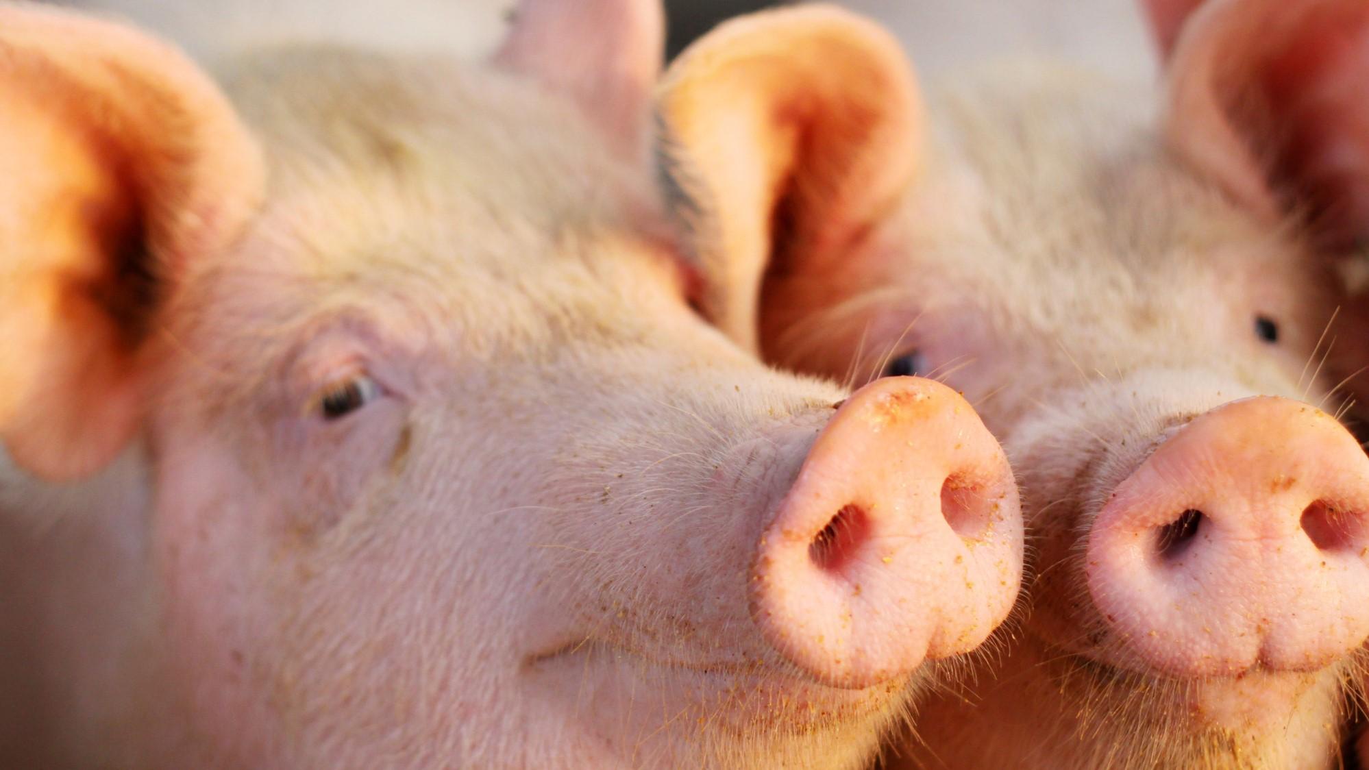 从非瘟历史经验谈起:猪价上涨在即,CPI何去何从