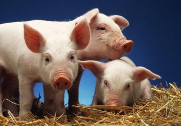 一樣的周期,不一樣的豬價