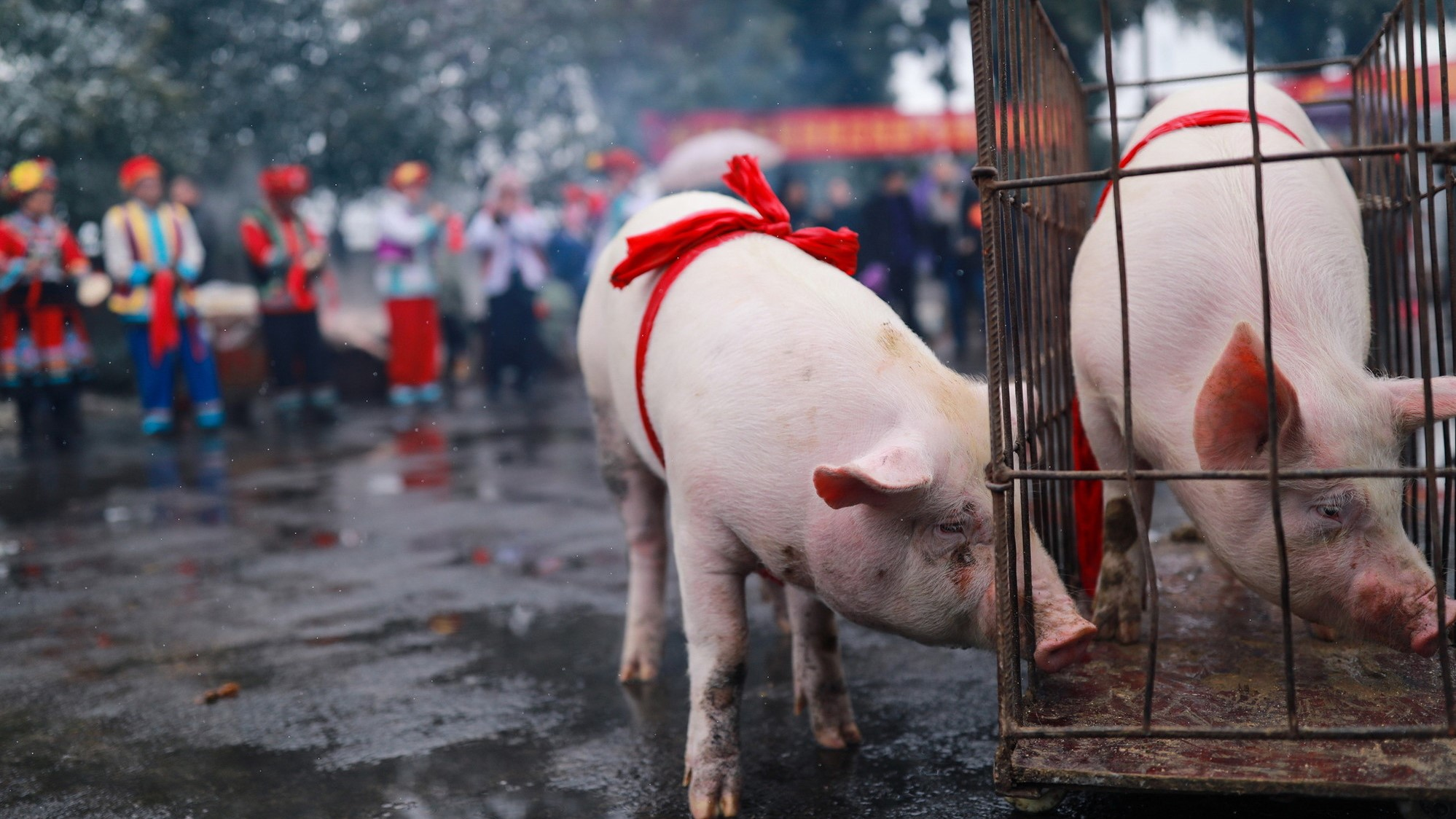 """猪又""""飞""""了?下半年猪肉价可能飙升70%,买点猪肉股压压惊?"""