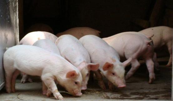 农产品专题:一文读懂饲料生猪产业链